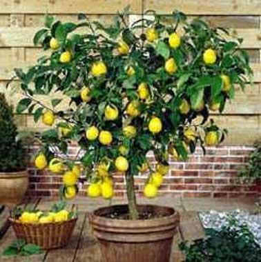 citronnier-en-pot-sur-terrasse